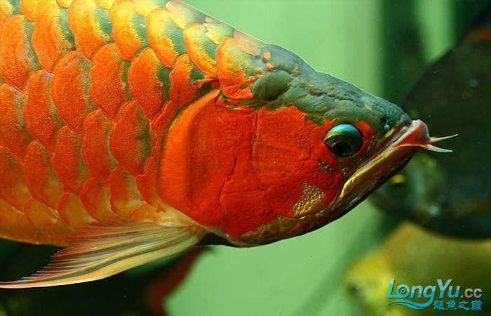 享受阳光的霸王超血红龙 西安观赏鱼信息 西安博特第10张