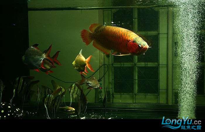 享受阳光的霸王超血红龙 西安观赏鱼信息 西安博特第9张