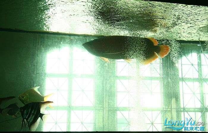 享受阳光的霸王超血红龙 西安观赏鱼信息 西安博特第13张
