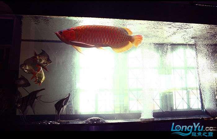 享受阳光的霸王超血红龙 西安观赏鱼信息 西安博特第12张