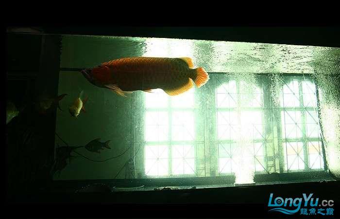 享受阳光的霸王超血红龙 西安观赏鱼信息 西安博特第14张