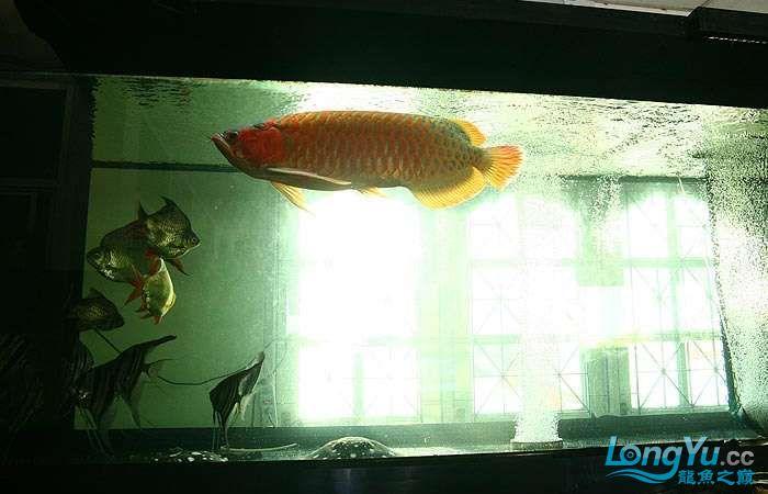 享受阳光的霸王超血红龙 西安观赏鱼信息 西安博特第15张