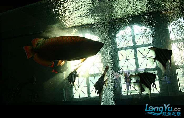 享受阳光的霸王超血红龙 西安观赏鱼信息 西安博特第16张