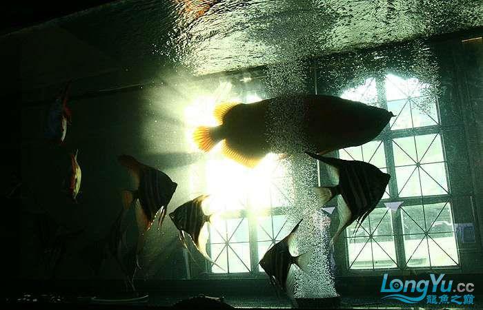 享受阳光的霸王超血红龙 西安观赏鱼信息 西安博特第18张