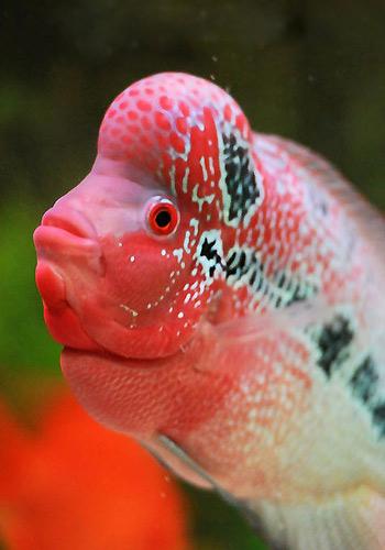 【西安哪个水族店有大花恐龙】关于每周停喂一天的问题望大神指点迷津 西安龙鱼论坛