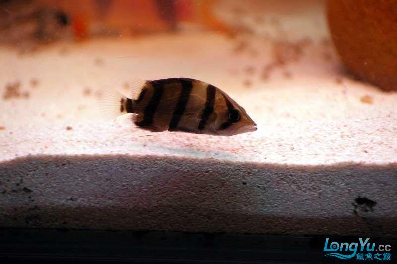 【西安鱼缸水族批发】晒晒我的小泰北丑小鸭的华丽变形 西安龙鱼论坛 西安博特第2张
