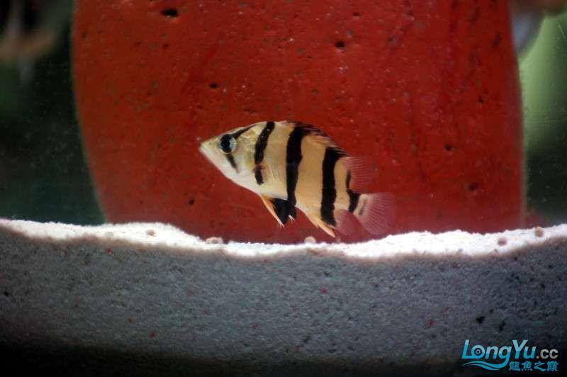 【西安鱼缸水族批发】晒晒我的小泰北丑小鸭的华丽变形