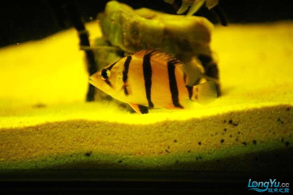 【西安鱼缸水族批发】晒晒我的小泰北丑小鸭的华丽变形 西安龙鱼论坛 西安博特第4张