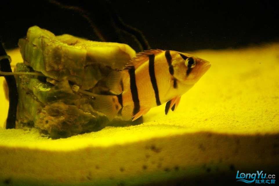 【西安鱼缸水族批发】晒晒我的小泰北丑小鸭的华丽变形 西安龙鱼论坛 西安博特第3张