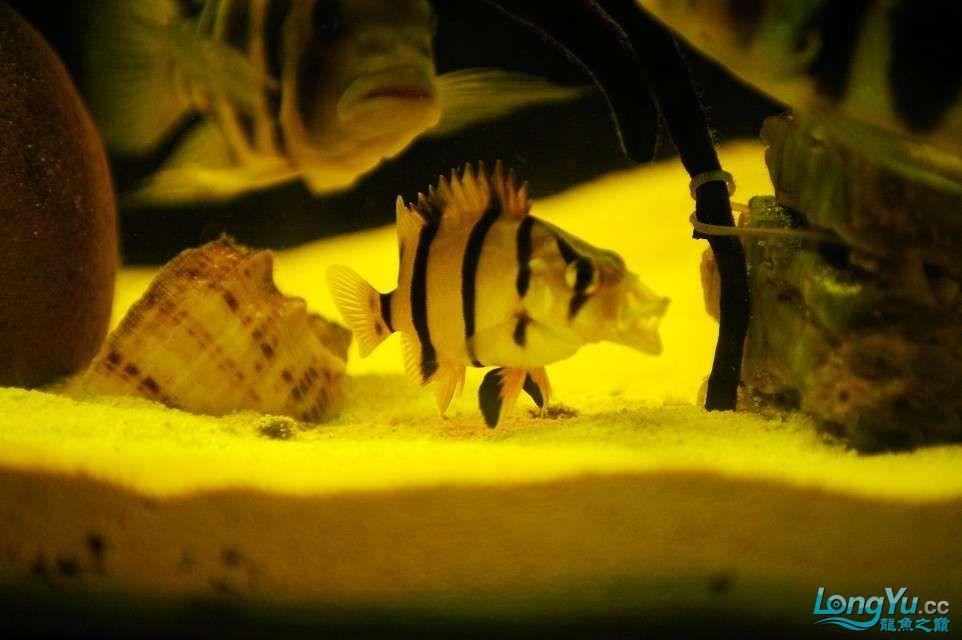 【西安鱼缸水族批发】晒晒我的小泰北丑小鸭的华丽变形 西安龙鱼论坛 西安博特第5张