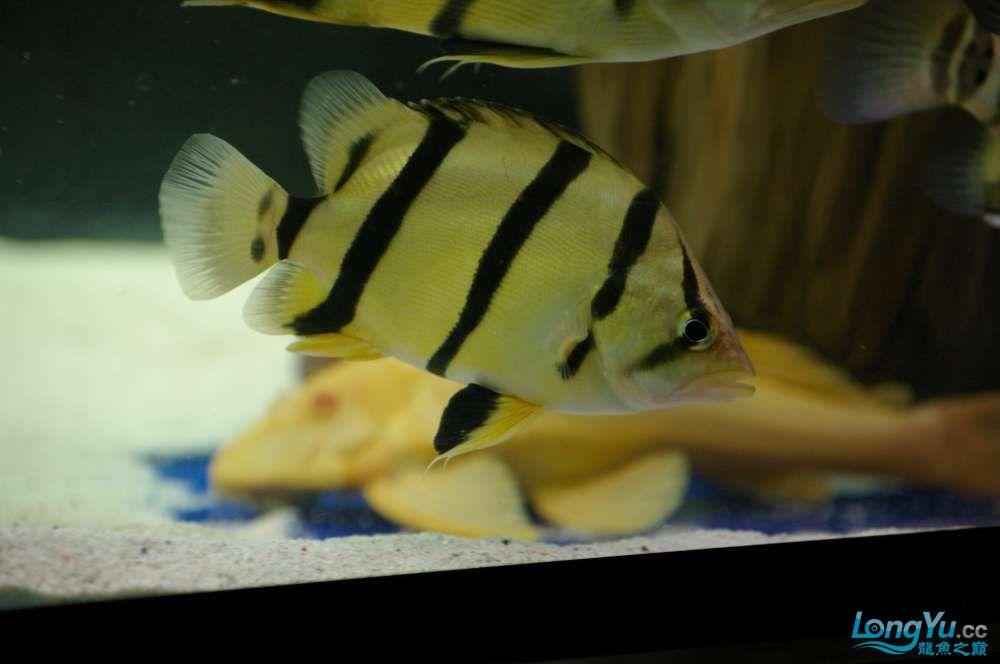 【西安鱼缸水族批发】晒晒我的小泰北丑小鸭的华丽变形 西安龙鱼论坛 西安博特第7张
