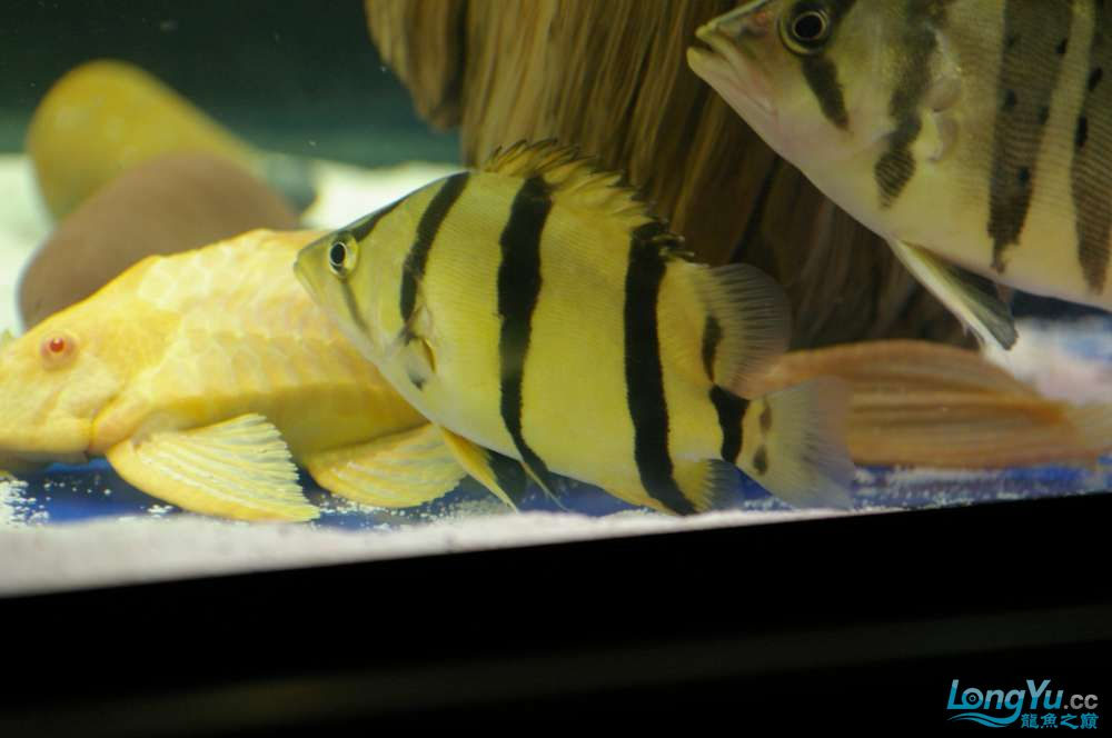 【西安鱼缸水族批发】晒晒我的小泰北丑小鸭的华丽变形 西安龙鱼论坛 西安博特第6张