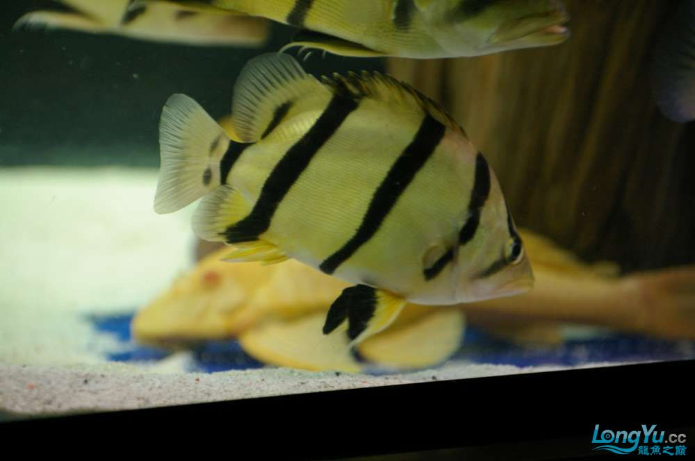 【西安鱼缸水族批发】晒晒我的小泰北丑小鸭的华丽变形 西安龙鱼论坛 西安博特第8张