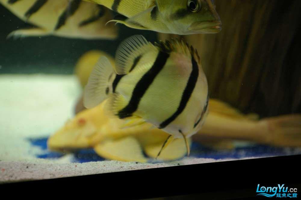 【西安鱼缸水族批发】晒晒我的小泰北丑小鸭的华丽变形 西安龙鱼论坛 西安博特第9张