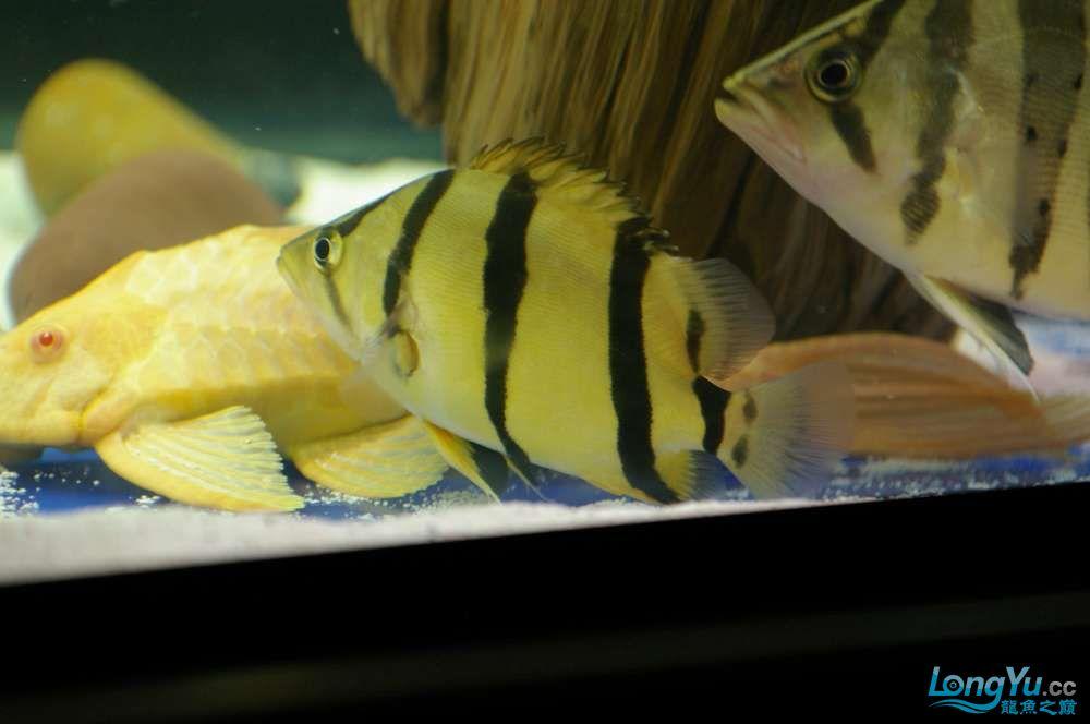 【西安鱼缸水族批发】晒晒我的小泰北丑小鸭的华丽变形 西安龙鱼论坛 西安博特第12张