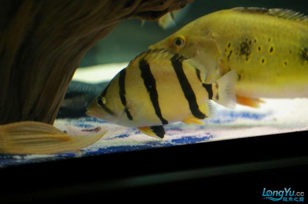 【西安鱼缸水族批发】晒晒我的小泰北丑小鸭的华丽变形 西安龙鱼论坛 西安博特第10张