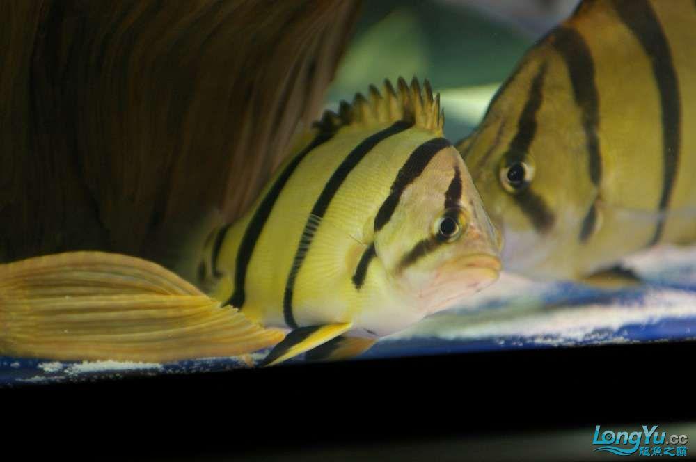 【西安鱼缸水族批发】晒晒我的小泰北丑小鸭的华丽变形 西安龙鱼论坛 西安博特第11张