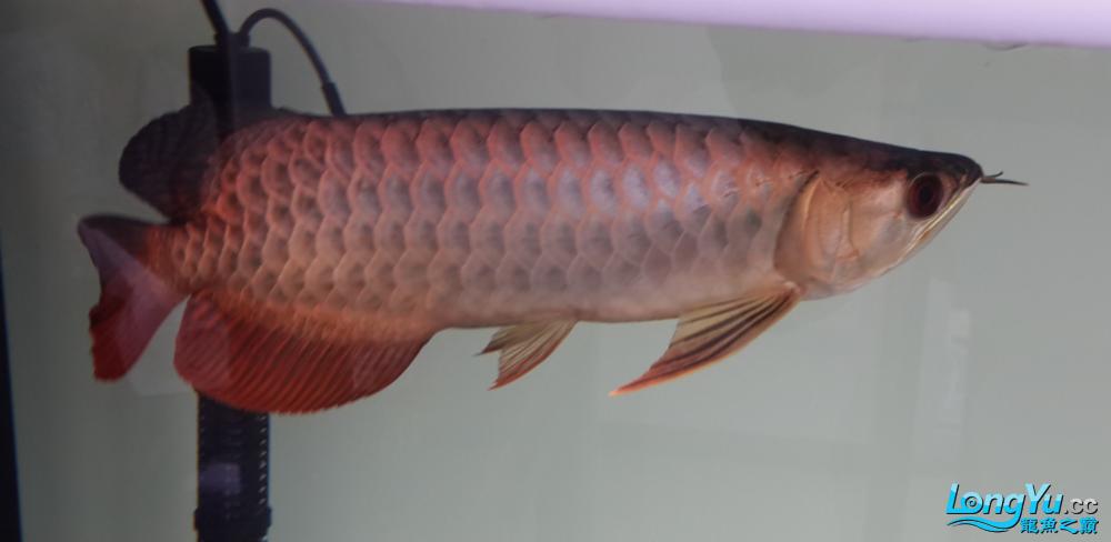 这鱼怎么样?求点评 西安观赏鱼信息 西安博特第1张
