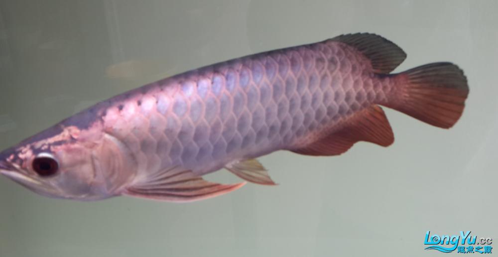 这鱼怎么样?求点评 西安观赏鱼信息 西安博特第3张