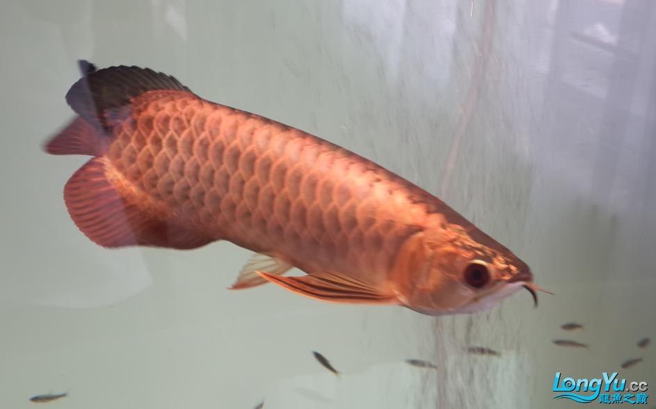 这鱼怎么样?求点评 西安观赏鱼信息 西安博特第4张