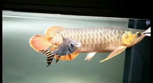 大家觉得怎么样 西安龙鱼论坛 西安博特第1张