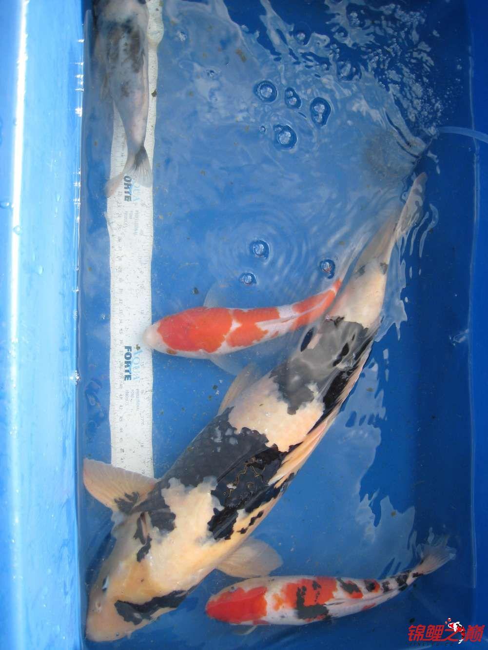 白写欣赏 西安观赏鱼信息 西安博特第3张