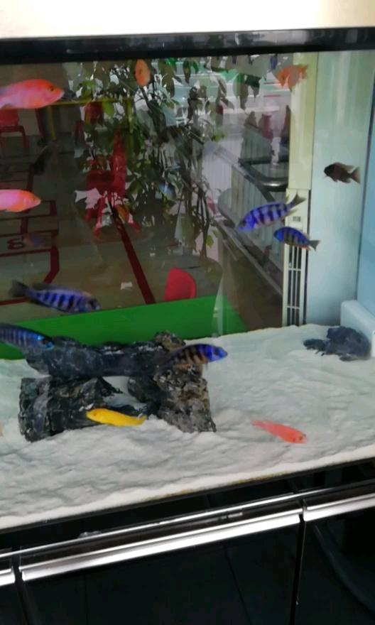 新来的三湖慈鲷这水透不透 西安观赏鱼信息