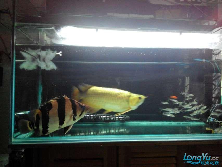 更新更新啦——我家的2合一体的红金龙合体 西安龙鱼论坛 西安博特第4张