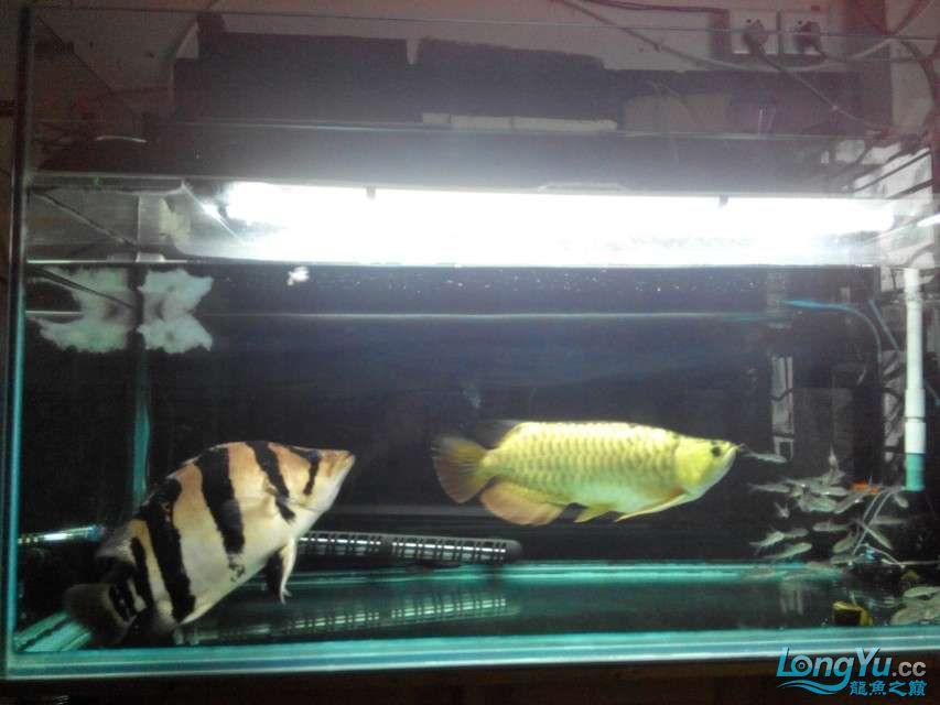 更新更新啦——我家的2合一体的红金龙合体 西安龙鱼论坛 西安博特第5张