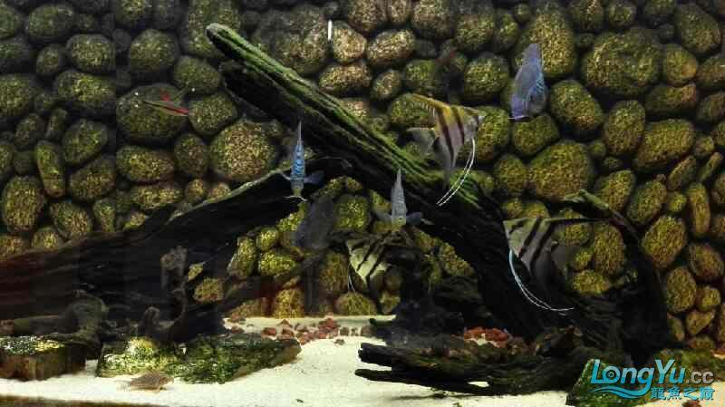 我的南美缸 西安观赏鱼信息 西安博特第2张