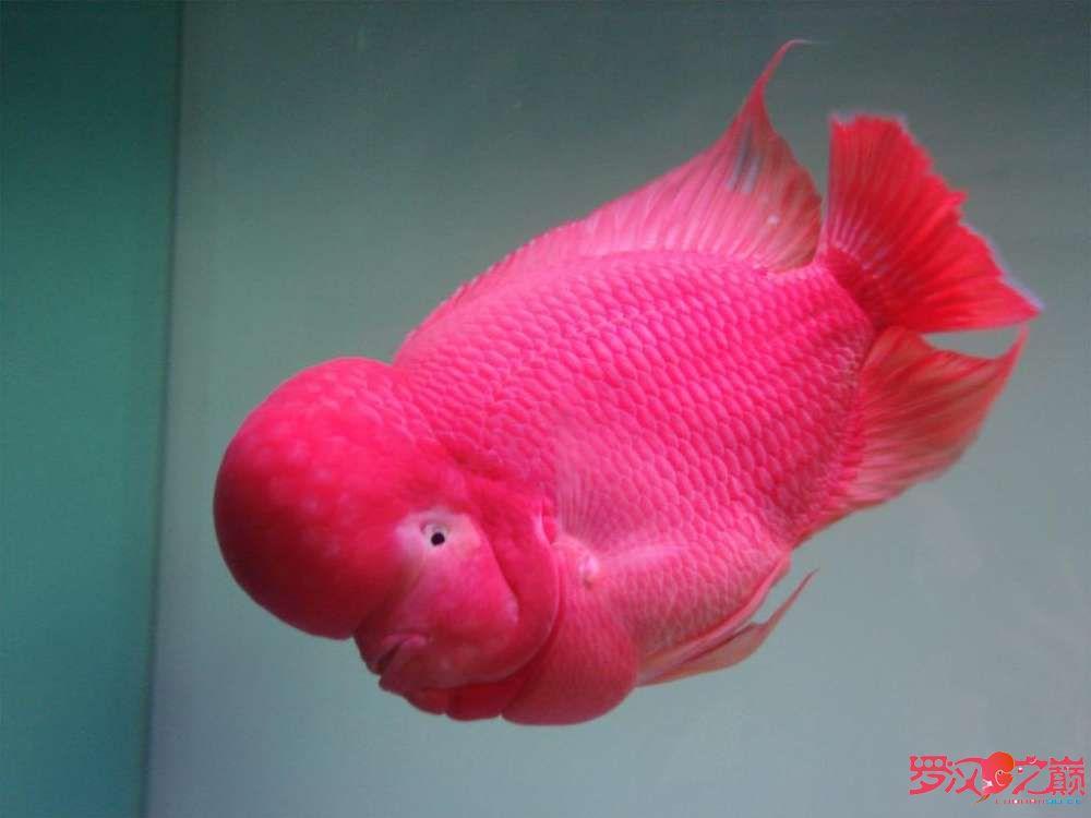 【西安小红龙】好罗齐分享 西安观赏鱼信息