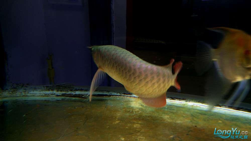 神仙龙鱼 西安龙鱼论坛 西安博特第5张