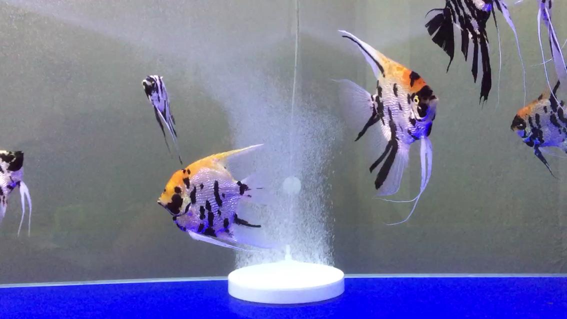 新买气盘神仙鱼 西安观赏鱼信息 西安博特第1张