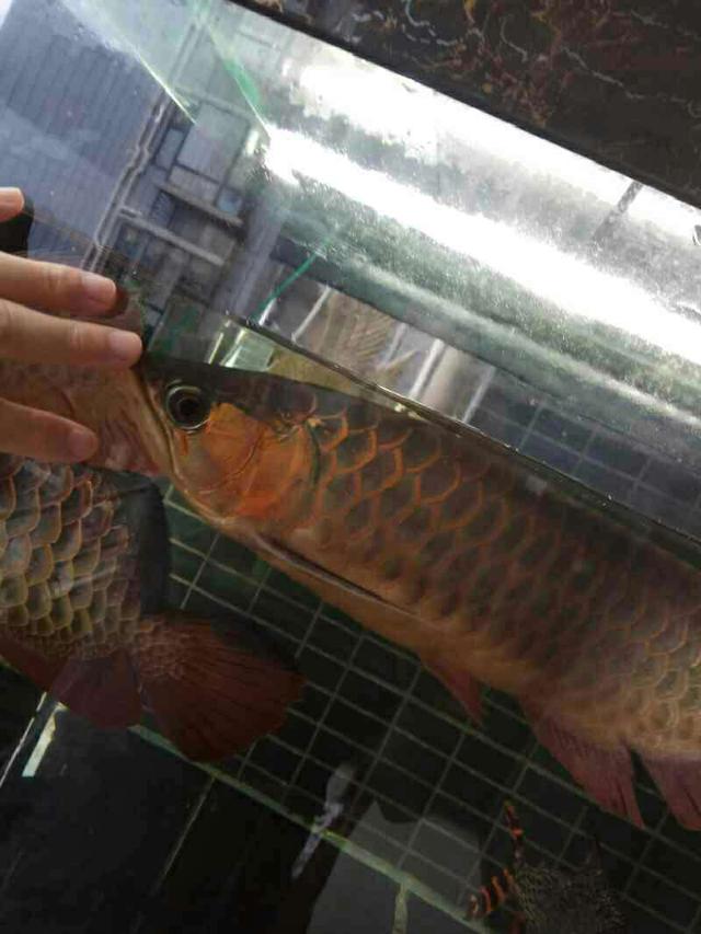 鱼趣NEC助力+平常鱼养出平常心 西安观赏鱼信息 西安博特第3张