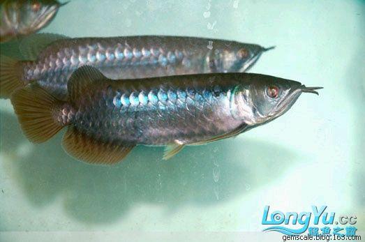 没做过色的顶级红龙苗 西安观赏鱼信息 西安博特第1张
