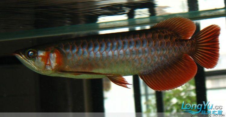 没做过色的顶级红龙苗 西安观赏鱼信息 西安博特第3张