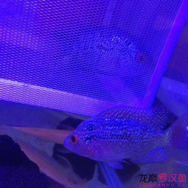 双花 西安观赏鱼信息 西安博特第6张