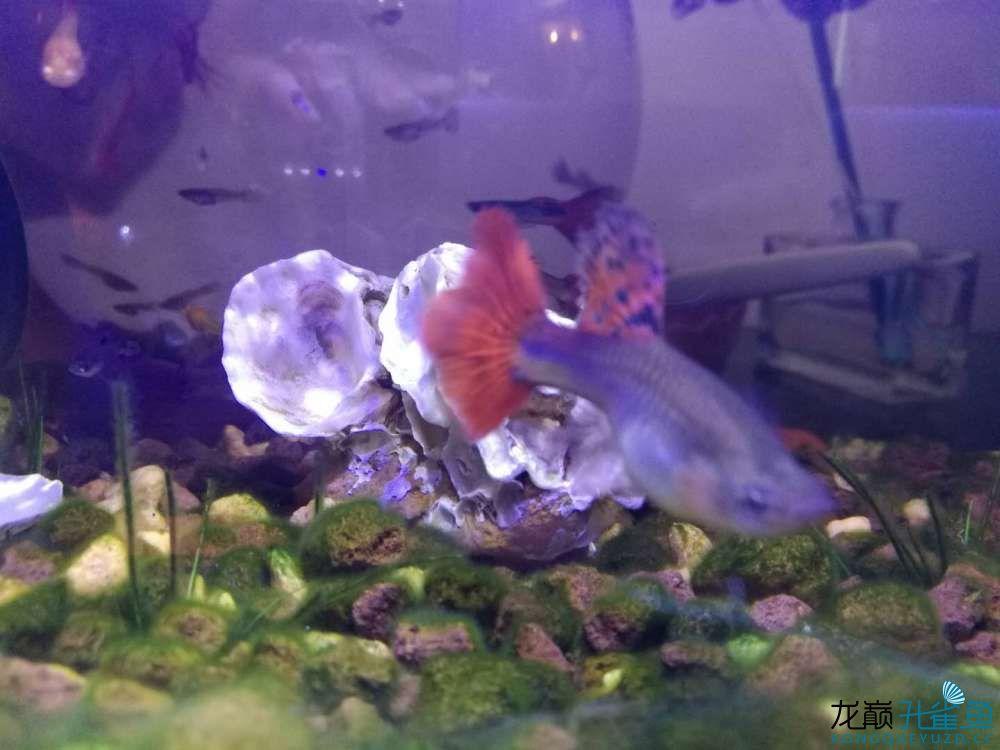 看看我养的孔雀鱼 西安观赏鱼信息 西安博特第1张