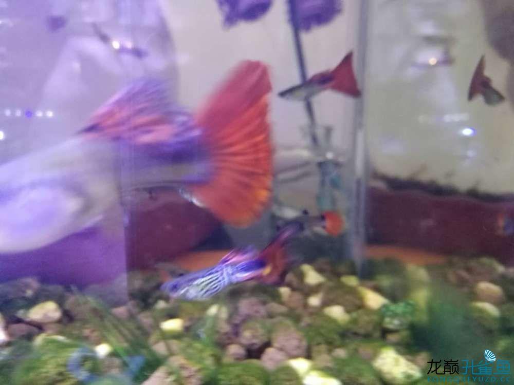 看看我养的孔雀鱼 西安观赏鱼信息 西安博特第3张