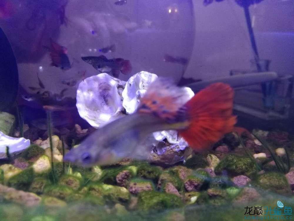 看看我养的孔雀鱼 西安观赏鱼信息 西安博特第2张