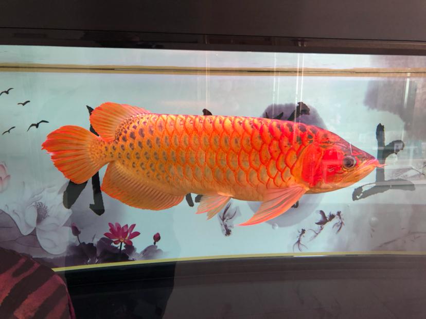 星期天分享一下 西安观赏鱼信息 西安博特第2张