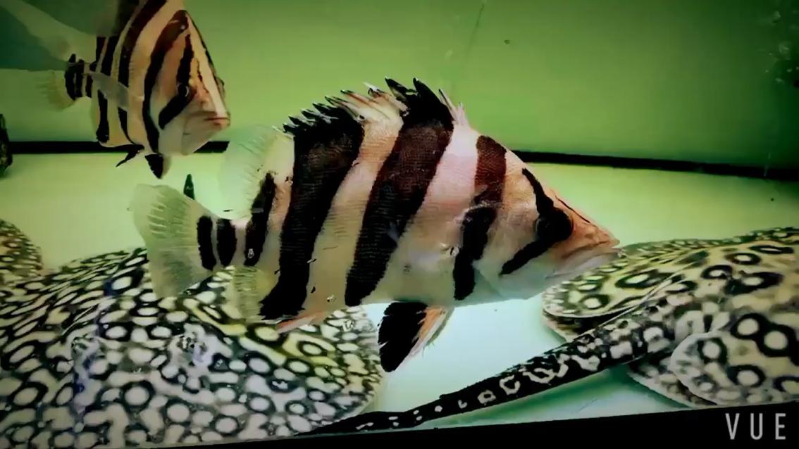 发来欣赏一下湖北鱼友圈 西安观赏鱼信息 西安博特第1张