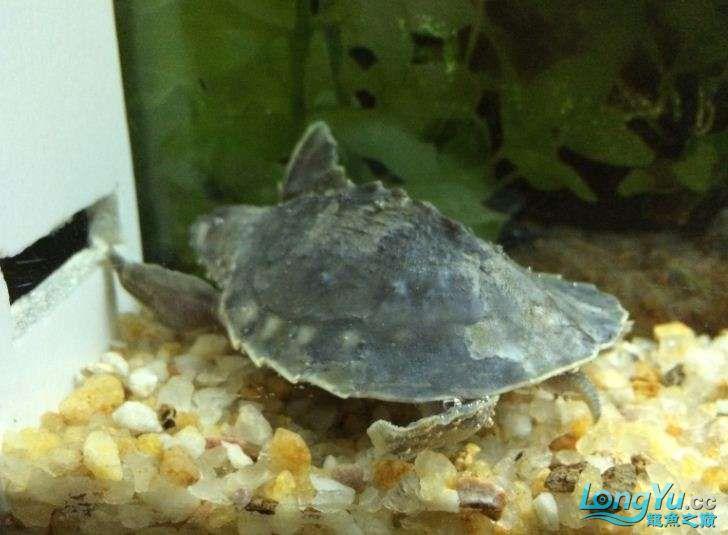【西安慈鲷鱼】猪鼻龟这个是腐甲么需要开始治疗么