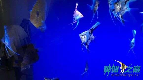 【西安苏门答腊虎】神仙群游 西安龙鱼论坛 西安博特第1张