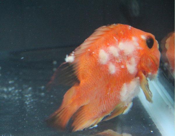 大神们 前辈们看看我的鱼还有救吗?锦鲤啊真难养啊 西安龙鱼论坛 西安博特第10张