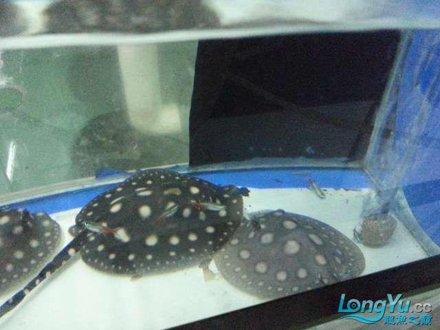 请大师们看看第一胎的小鱼有缺口是怎么啦营养不良吗? 西安观赏鱼信息 西安博特第3张