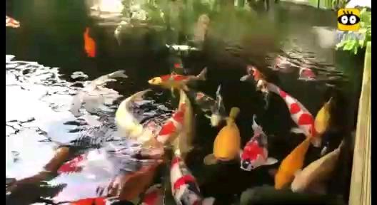 【西安哪个水族店有鱼缸】分享一段好看的视频 西安龙鱼论坛 西安博特第1张