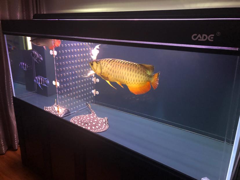 静夜思龙鱼 西安观赏鱼信息 西安博特第1张