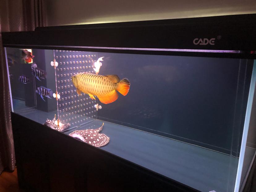 静夜思龙鱼 西安观赏鱼信息 西安博特第2张