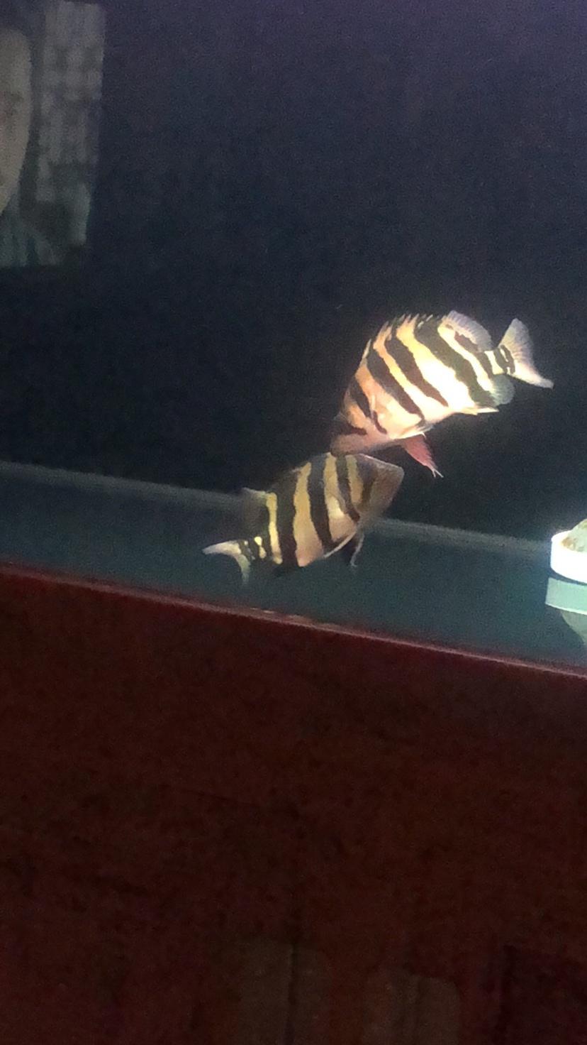 土贼当道龙鱼 西安观赏鱼信息